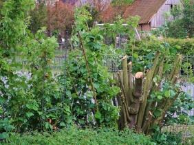 2019-05-29 LüchowSss Garten Hasel - Radikalschnitt