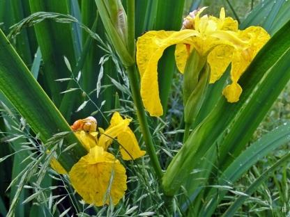 2019-06-03 LüchowSss Garten abends (10) Gelbe Sumpf-Iris (Iris pseudacorus)