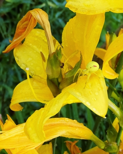 2019-06-03 LüchowSss Garten abends (16) Gelbe Taglilie (Hemerocallis lilioasphodelus) mit Veränderlicher Krabbenspinne (Misumena vatia) Weibchen