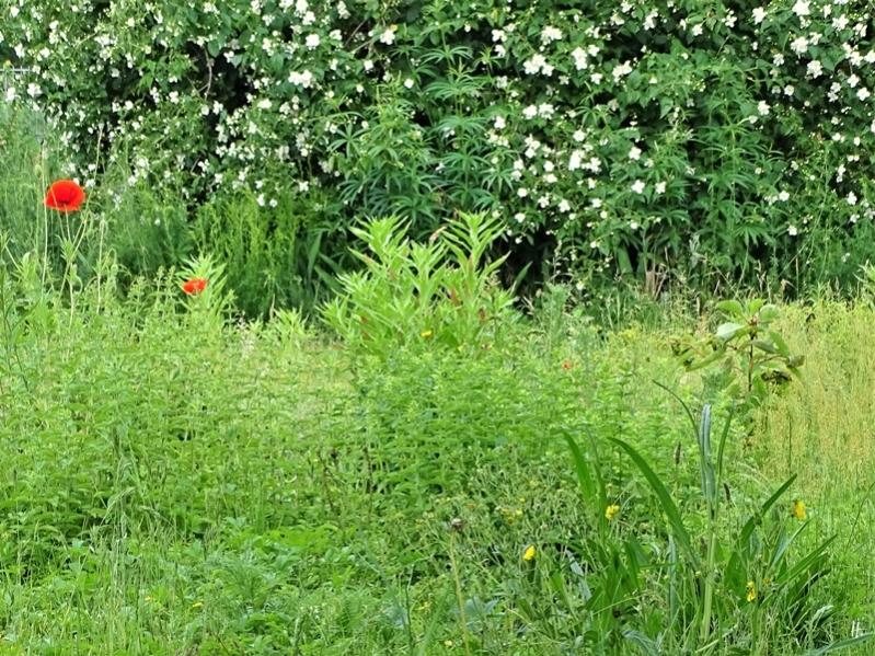 2019-06-04 LüchowSss Garten Pfeifenstrauch + Wieseninsel