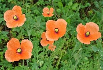 2019-06-04 LüchowSss Garten Saatmohn (Papaver dubium) (2) kleine Pflanzen