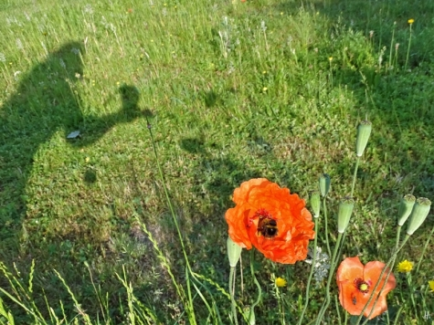 2019-06-05 LüchowSss Garten Saatmohn (Papaver dubium) am Morgen