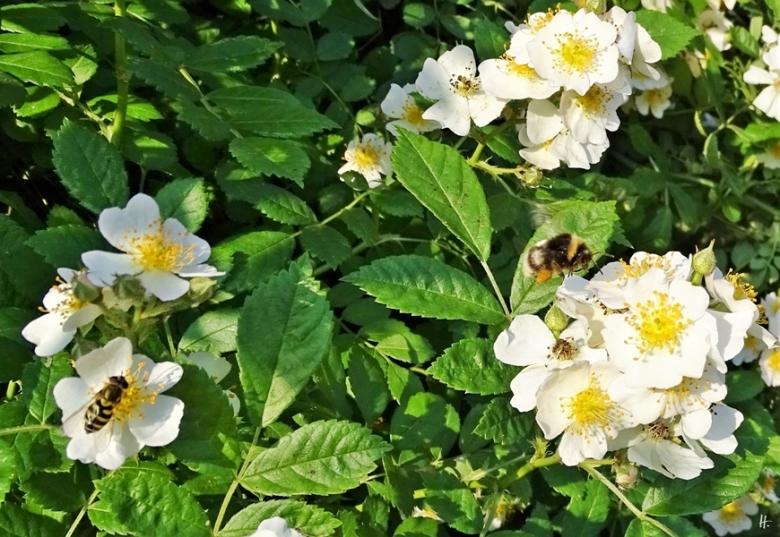 2019-06-06 LüchowSss Garten Büschelrose (Rosa multiflora) + unbek. Hummel mit weissem Streifen (3)