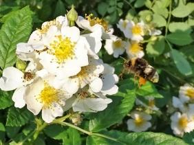 2019-06-06 LüchowSss Garten Büschelrose (Rosa multiflora) + unbek. Hummel mit weissem Streifen (4)