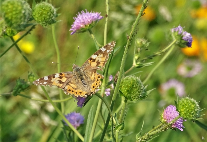 2019-06-06 LüchowSss Garten Distelfalter (Vanessa cardui) + Acker-Witwenblume (Knautia arvensis) (13)