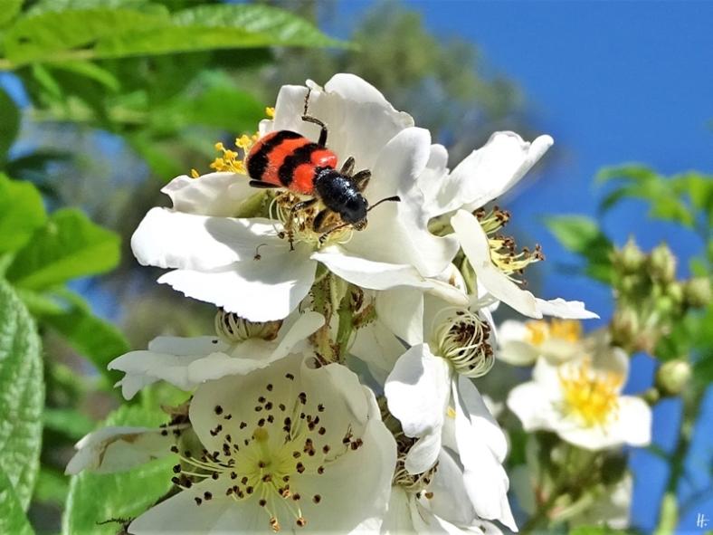 2019-06-07 LüchowSss Garten Büschelrose (Rosa multiflora) + Gemeiner Bienenkäfer (Trichodes apiarius)