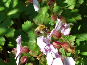 2019-06-07 LüchowSss Garten Cambridge Storchschnabel 'Biokovo' (Geranium x cantabrigiense 'Biokovo')