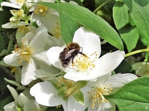 2019-06-09 LüchowSss Garten Bauernjasmin (Philadelphus coronaria) + Baumhummel (Bombus hypnorum) (3)