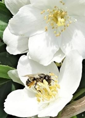 2019-06-09 LüchowSss Garten Bauernjasmin + Wildbiene (Bauchsammlerin) (3)