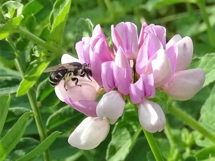 2019-06-09 LüchowSss Garten Bunte Kronwicke (Securigera varia) + Wildbiene (2)