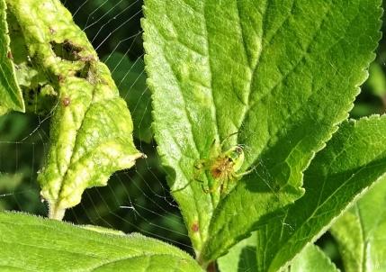 Kürbisspinne (Araniella cucurbitina) zwischen Zwetschgenblättern