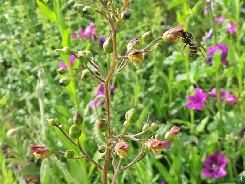 2019-06-09 LüchowSss Garten Knotige Braunwurz (Scrophularia nodosa) + Sächsische Wespe (Dolichovespula saxonica) (1)