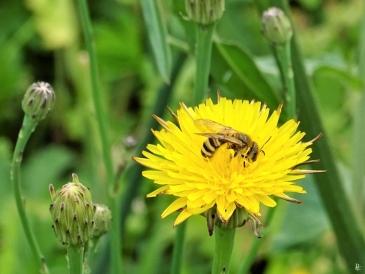 2019-06-10 LüchowSss Garten Ferkelkraut (Hypochaeris radicata) + Gelbbindige Furchenbiene (Halictus scabiosae) (2)