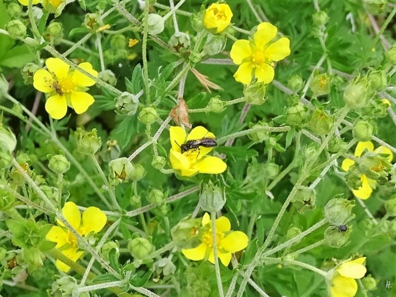 2019-06-10 LüchowSss Garten Sonnenröschen (Helianthemum) + kleine Wildbiene (2)