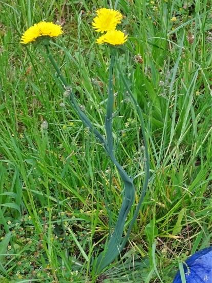 2019-06-11 LüchowSss Garten Ferkelkraut (Hypochaeris radicata) mit Verbänderung (Fasziation) (1)