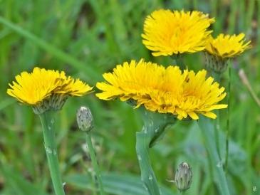 2019-06-11 LüchowSss Garten Ferkelkraut (Hypochaeris radicata) mit Verbänderung (Fasziation) (8)