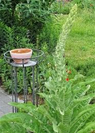 2019-06-11 LüchowSss Garten Kandelaber-Königskerze (Verbascum olypicum)