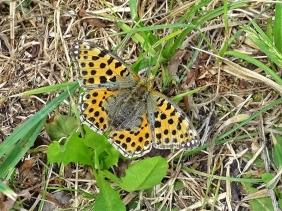 2019-06-11 LüchowSss Garten Kleiner Perlmuttfalter (Issoria lathonia) (2)