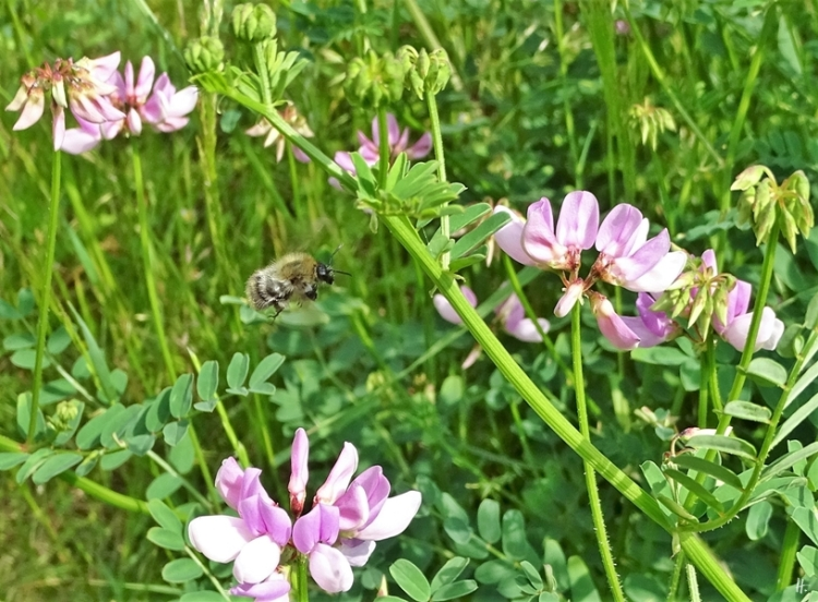 2019-06-11 LüchowSss Garten Bunte Kronwicke (Securigera varia) + Gemeinen Pelzbiene (Anthophora plumipes) (3)