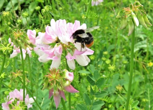 2019-06-12 LüchowSss Garten Bunte Kronwicke (Securigera varia) + Steinhummel (Bombus lapidarius)
