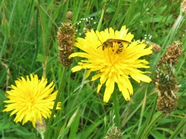 2019-06-12 LüchowSss Garten Ferkelkraut (Hypochaeris radicata) +Gelbbindige Furchenbiene (Halictus scabiosae) (6)