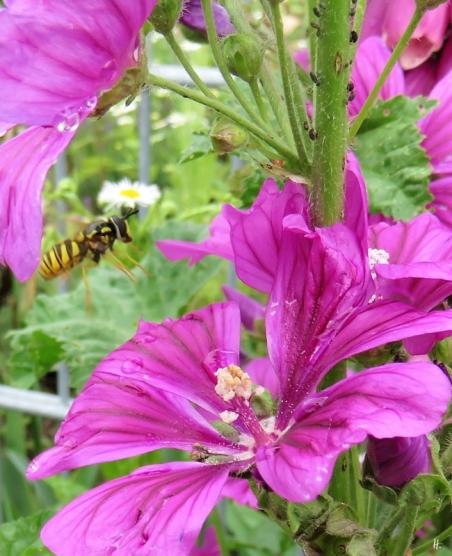 2019-06-12 LüchowSss Garten Mauretanische Malven (Malva sylvestris ssp. mauretanica) + Gemeine Wespenschwebfliege (Chrysotoxum cautum)