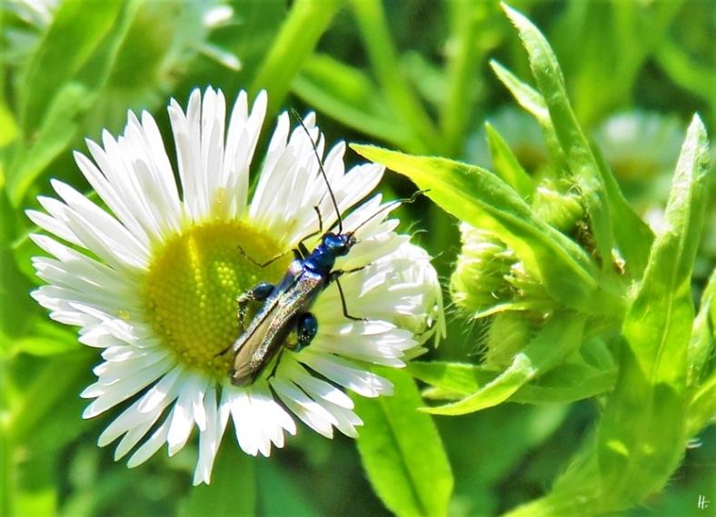 2019-06-14 LüchowSss Garten Blaugrüner Schenkelkäfer (Oedemera nobilis) auf Feinstrahl (Erigeron annuus)