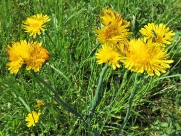 2019-06-14 LüchowSss Garten Ferkelkraut (Hypochaeris radicata) mit Verbänderung (Fasziation) (2)