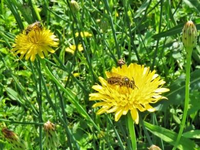2019-06-14 LüchowSss Garten Ferkelkraut (Hypochaeris radicata) mit Wildbiene (4)