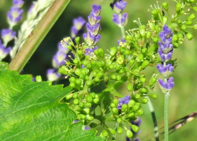2019-06-14 LüchowSss Garten Lavendel (Lavandula angustifolia) + Weinblüten (Vitis vinifera) (1)