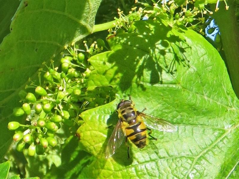 2019-06-14 LüchowSss Garten Totenkopf-Schwebfliege (Myathropa florea) an blühendem Wein (Vitis vinifera) (1)