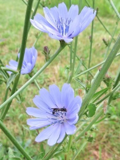 2019-06-15 LüchowSss Garten Wegwarte (Cichorium intybus) + schlafende Scherenbiene (Osmia spec.) (1)