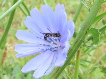 2019-06-15 LüchowSss Garten Wegwarte (Cichorium intybus) + schlafende Scherenbiene (Osmia spec.) (2)
