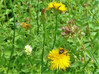 2019-06-16 LüchowSss Garten Ferkelkraut (Hypochaeris radicata) mit Wildbienen (3)