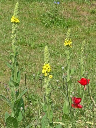 2019-06-16 LüchowSss Garten Kleinblütige Königskerze (Verbascum thapsus) + Klatschmohn (Papaver rhoeas) (2)