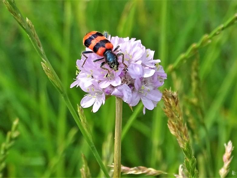2019-06-16 LüchowSss Garten Strandgrasnelken + Bienenkäfer (Trichodes apiarius)