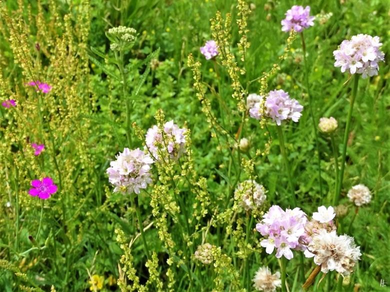 2019-06-16 LüchowSss Garten Strandgrasnelken - Galmei-Grasnelke (Armeria maritima subsp. halleri) + Kleiner Ampfer + Heidenelken