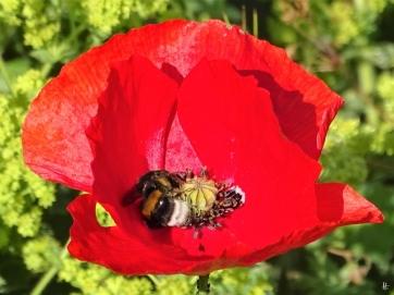 2019-06-17 LüchowSss Garten Klatschmohn (Papaver rhoeas) + Dunkle Erdhummel (Bombus terrestris) (1)