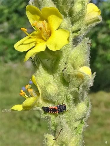 2019-06-17 LüchowSss Garten Kleinblütige Königskerze (Verbascum thapsus) am Morgen + Asiatischer Marienkäfer (Harmonia axyridis)-Larve (2)