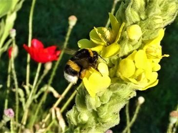 2019-06-17 LüchowSss Garten Kleinblütige Königskerze (Verbascum thapsus) am Morgen + Dunkler Erdhummel (Bombus terrestris) (1)