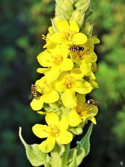 2019-06-18 LüchowSss Garten Kleinblütige Königskerze (Verbascum thapsus) + Schwebfliegen