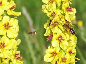 2019-06-18 LüchowSss Garten Schwarze bzw. Dunkle Königskerze (Verbascum nigrum) + Wildbienen + Schwebfliegen (6)
