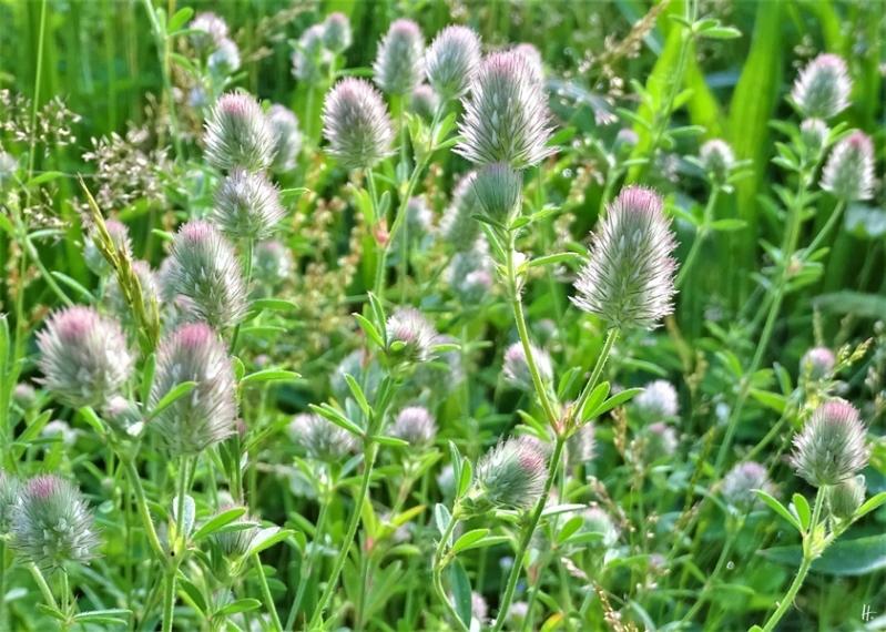 2019-06-19 LüchowSss Garten Hasenklee (Trifolium arvense)