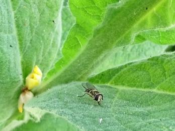 2019-06-19 LüchowSss Garten Kleinblütige Königskerze (Verbascum thapsus) + Schwebfliege