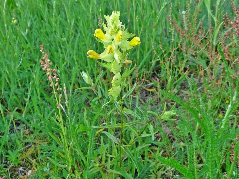2019-06-20 LüchowSss Garten Kleiner Klappertopf (Rhinanthus minor)
