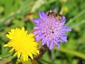2019-06-21 LüchowSss Garten Acker-Witwenblume (Knautia arvensis) + Gelbbindige Furchenbiene (Halictus scabiosae), Weibchen (1)