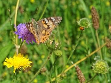 2019-06-21 LüchowSss Garten Distelfalter (Vanessa cardui) auf Acker-Witwenblume (Knautia arvensis) (1)