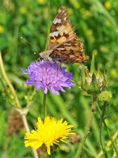 2019-06-21 LüchowSss Garten Distelfalter (Vanessa cardui) auf Acker-Witwenblume (Knautia arvensis) (2)