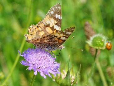 2019-06-21 LüchowSss Garten Distelfalter (Vanessa cardui) auf Acker-Witwenblume (Knautia arvensis) (3)