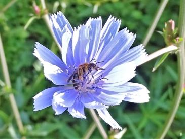 2019-06-21 LüchowSss Garten Wegwarte (Cichorium intybus) + Schmalbiene (Lasioglossum spec.)